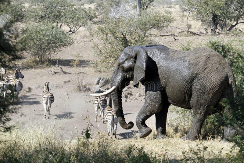 Elefante y cebra fotografía de archivo