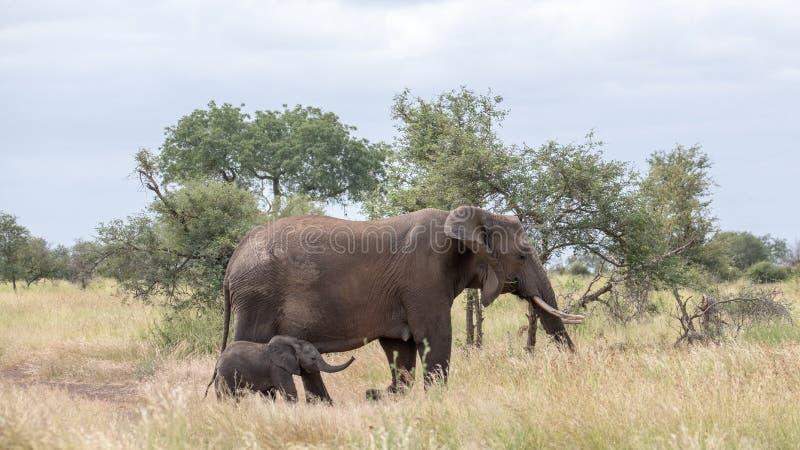 Elefante y nuevamente becerro nacido que caminan en el arbusto en el parque nacional de Kruger, Suráfrica fotos de archivo libres de regalías