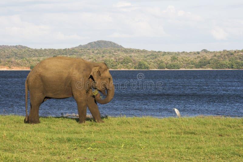 Elefante y pequeño pájaro por un lago fotografía de archivo