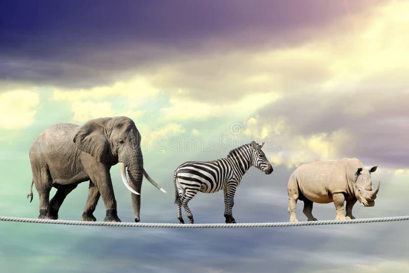 Elefante, zebra, rinoceronte andando em uma corda fotografia de stock royalty free
