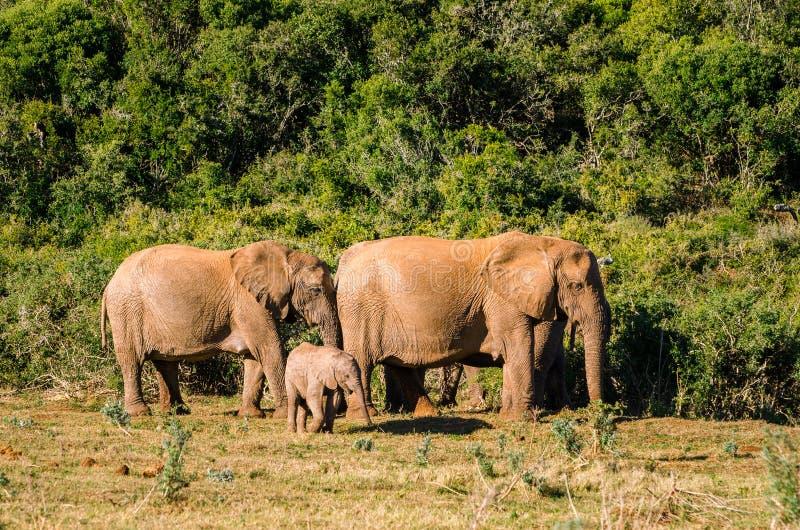 Elefanten, Addo-Elefanten Park, Südafrika lizenzfreie stockfotografie