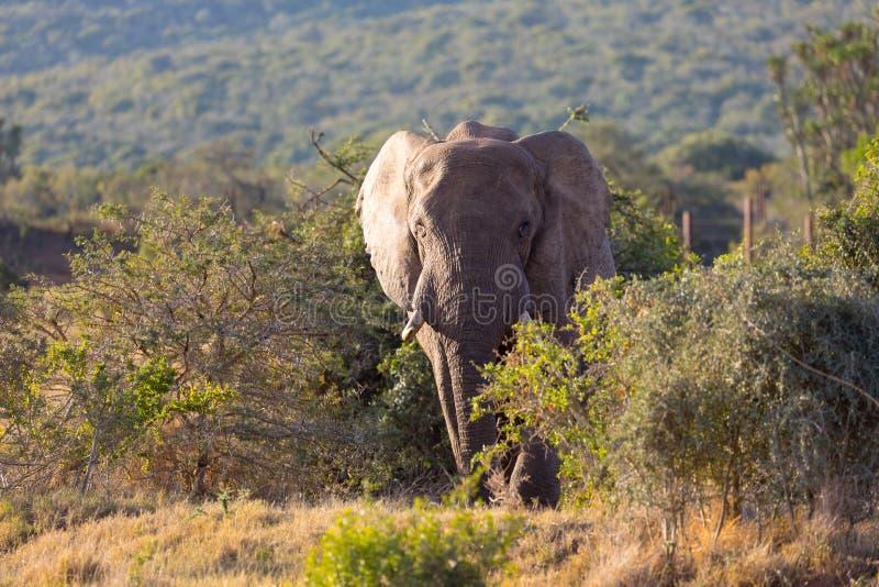 Elefanten in Addo Elephant National Park in Port Elizabeth - Südafrika lizenzfreie stockfotos