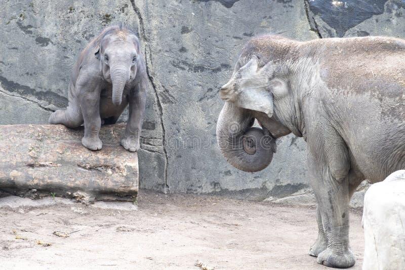 Elefanten behandla som ett barn i fara, genom att balansera över stammen Zoo Cologne, Tyskland arkivfoton