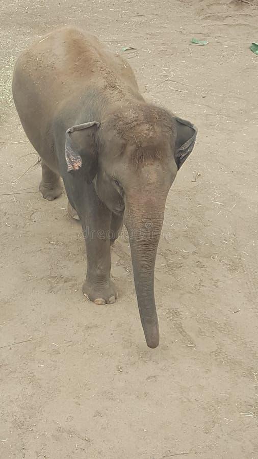 Elefanten behandla som ett barn på Torongaen parkerar zoo, Mosman, NSW, Australien royaltyfria bilder