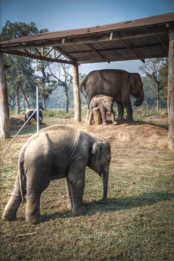 Elefanten in Chitwan stockfoto
