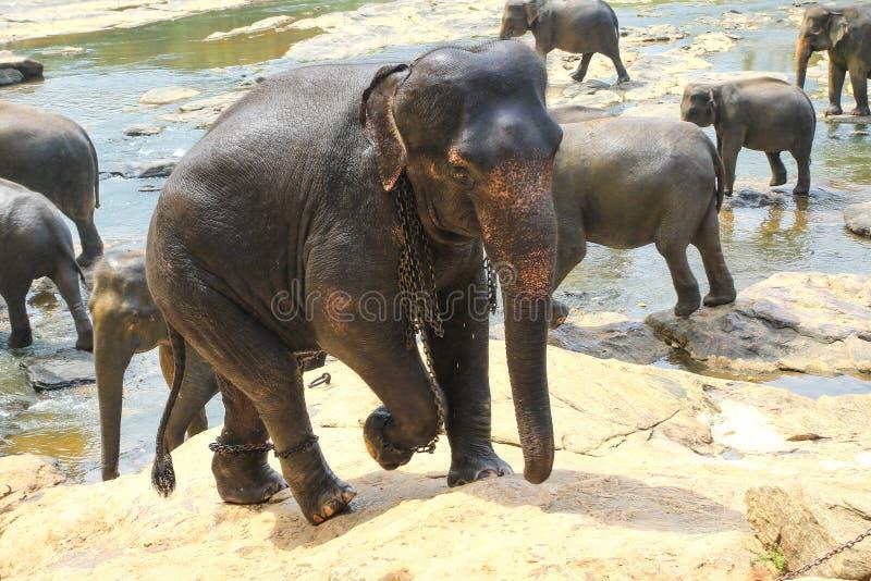 Elefanten in den Ketten, Grausamkeit zu den Tieren in Pinnawala-Waisenhaus S lizenzfreie stockbilder