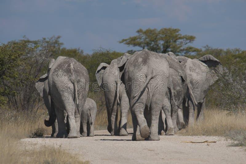 Elefanten, die auf die Straße gehen lizenzfreies stockbild