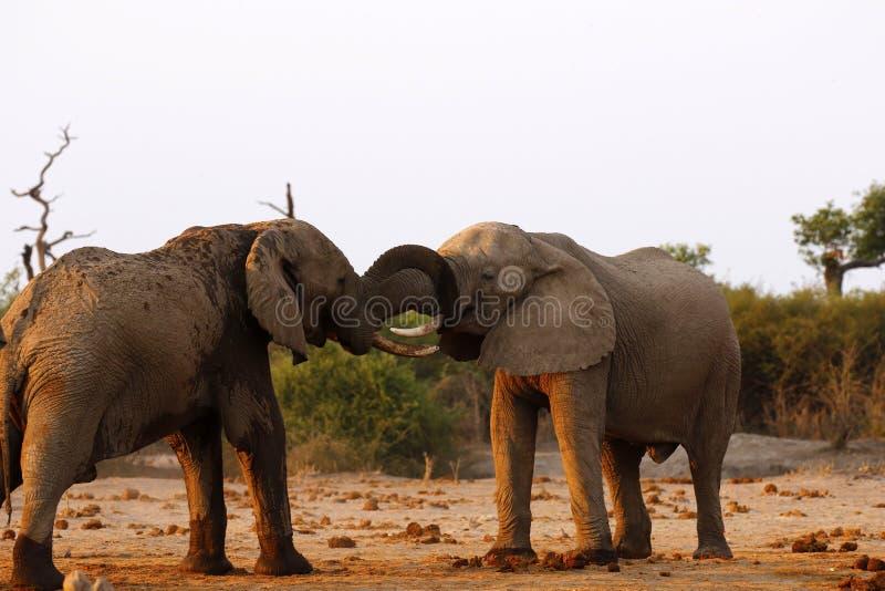 Elefanten, die damit das Recht kämpfen, verbindet lizenzfreie stockfotografie
