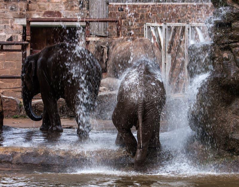 Elefanten, die im Wasser spielen lizenzfreies stockbild