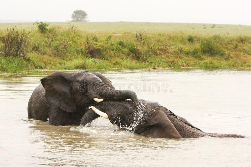 Elefanten, die im Wasser spielen stockbild