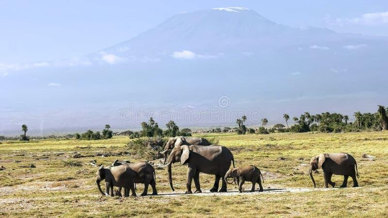 Elefanten, die vor mt-kilimanjaro im amboseli, Kenia stehen lizenzfreie stockbilder