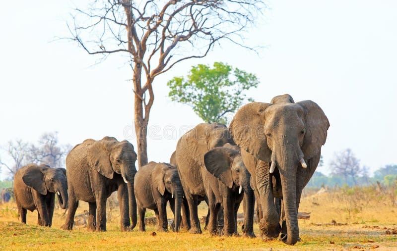 Elefanten, die vorwärts über die afrikanischen Ebenen in Nationalpark Hwange, Simbabwe gehen stockbild