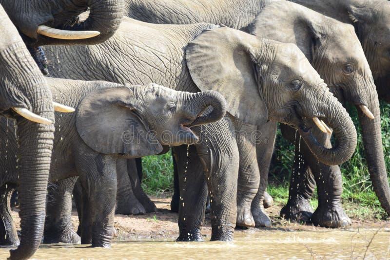 Elefanten, die am waterhole trinken stockfotos