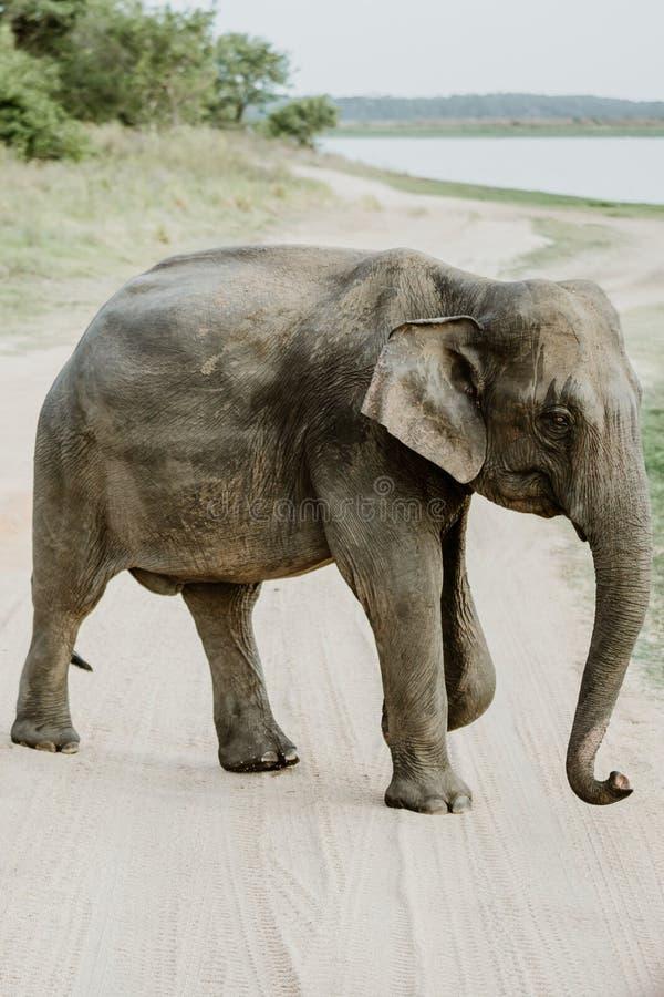 Elefanten in einem Nationalpark von Sri Lanka stockbild