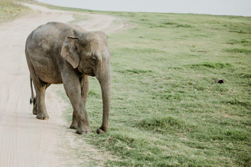 Elefanten in einem Nationalpark von Sri Lanka lizenzfreies stockfoto