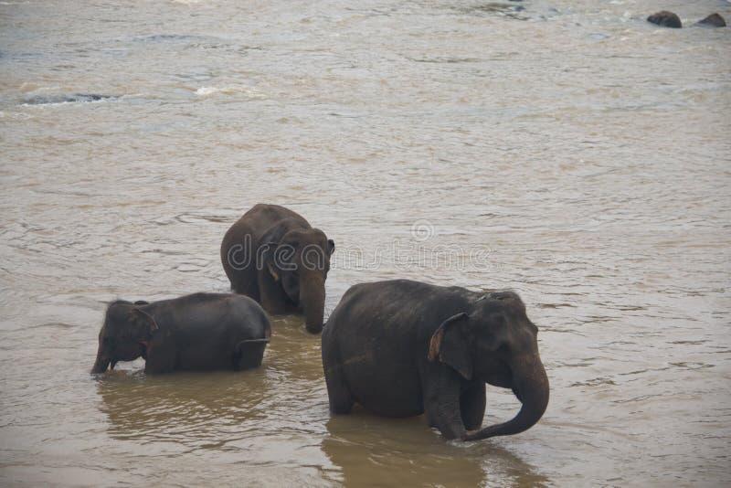 Elefanten in einem Waisenhaus in Sri Lanka stockfotografie