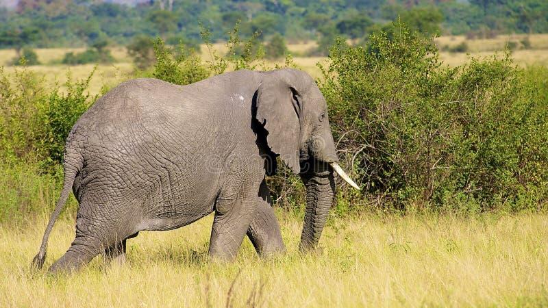 Download Elefanten går i Afrika fotografering för bildbyråer. Bild av medf8ort - 27282449