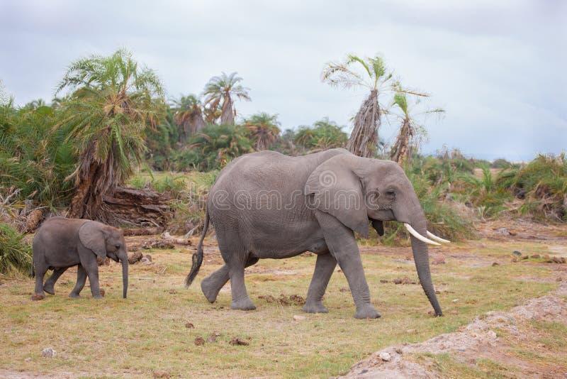 Elefanten gehen über die Straße, auf Safari in Kenia lizenzfreie stockbilder