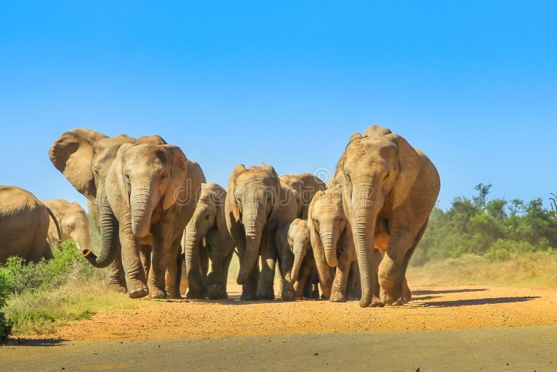 Elefanten gehendes Südafrika stockfoto