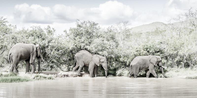 Elefanten im wilden stockfoto