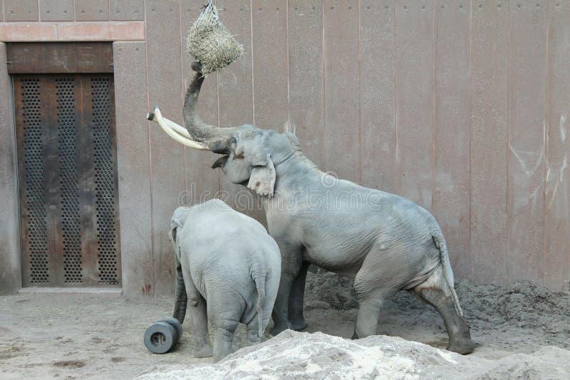 Elefanten in Kopenhagen-Zoo stockfoto