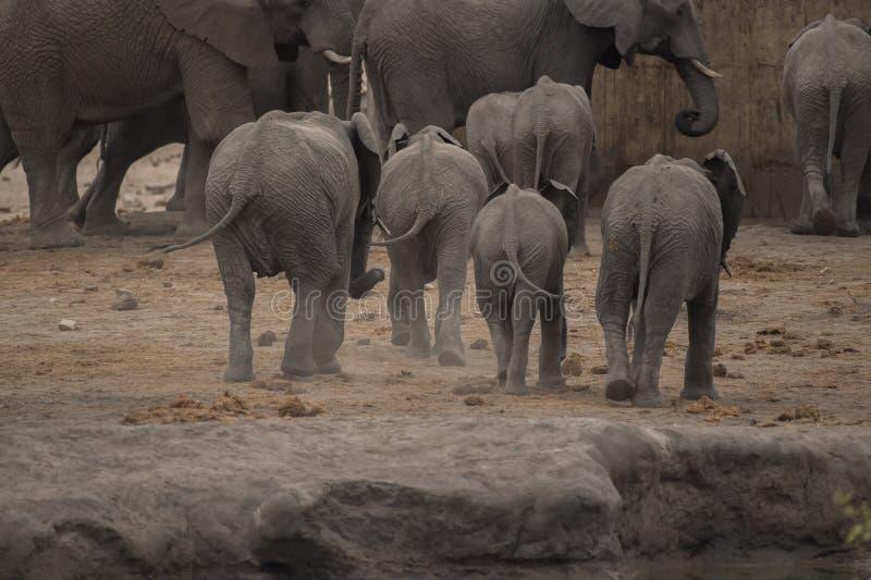 Elefanten, Loxodonta Africana, Unterseiten ganz in Folge als laufen sie lizenzfreies stockfoto