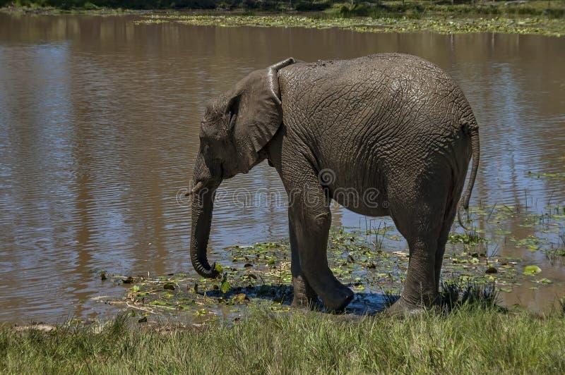 Elefanten machen Schlammbad lizenzfreies stockbild