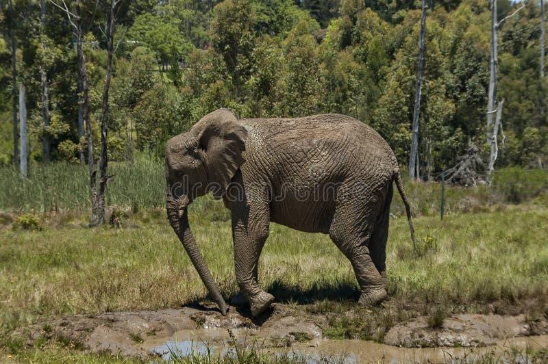 Elefanten machen Schlammbad lizenzfreie stockfotografie