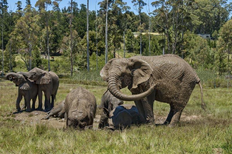 Elefanten machen Schlammbad in der Kapellen- u. Lapa-Reserve stockfotografie