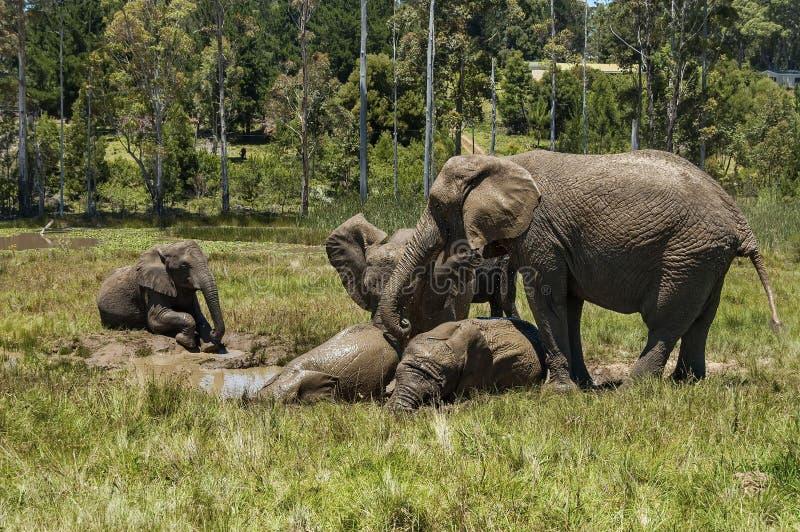 Elefanten machen Schlammbad in der Kapellen- u. Lapa-Reserve lizenzfreies stockbild