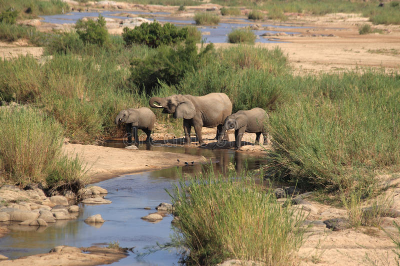 Elefanten in Nationalpark Kruger, Trinkwasser Südafrikas in Sabie-Fluss stockbild