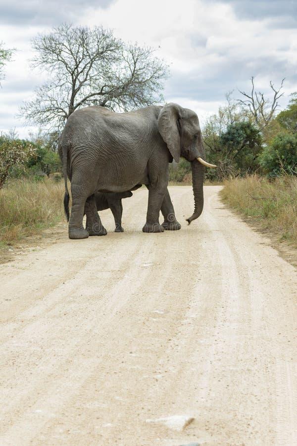 Elefanten och kalven som går över en grusväg i, parkerar arkivfoto