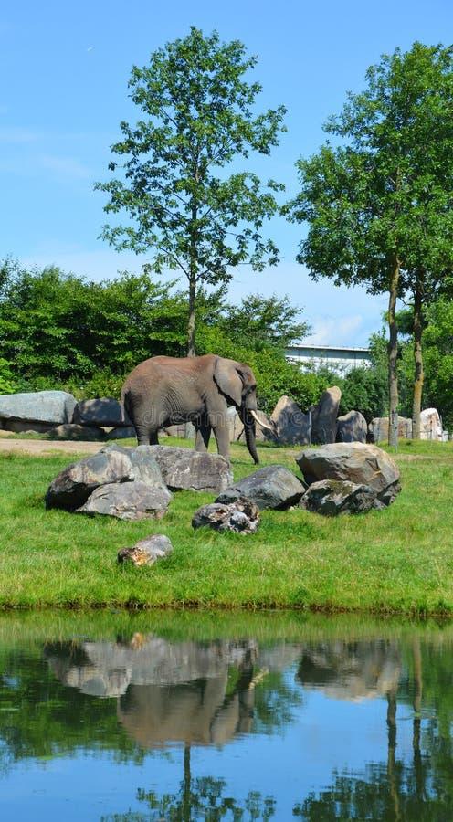 Elefanten sind große Säugetiere des Familie Elephantidae lizenzfreie stockfotografie