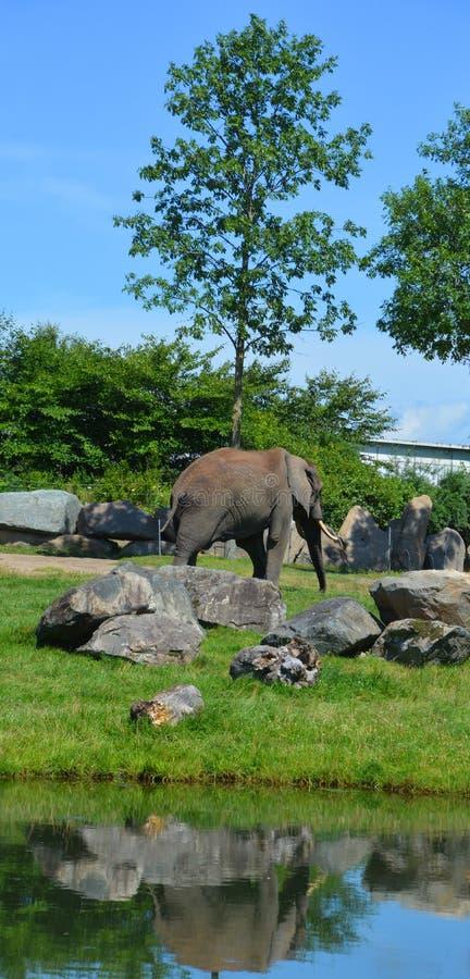 Elefanten sind große Säugetiere des Familie Elephantidae stockbilder