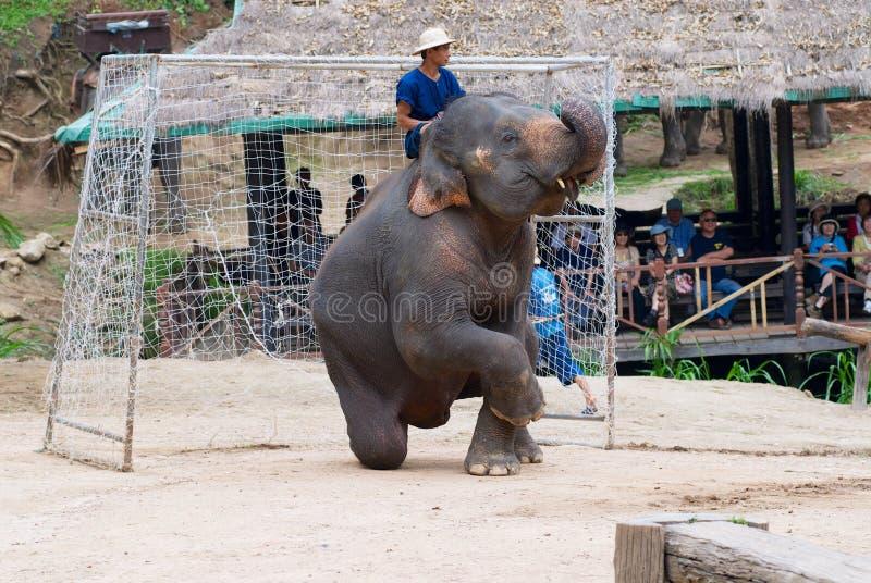 Elefanten spelar som en målvårdare under en fotbollsmatch på elefantshowen i Mae Sa Elephant Camp i Chiang Mai, Thailand arkivfoton