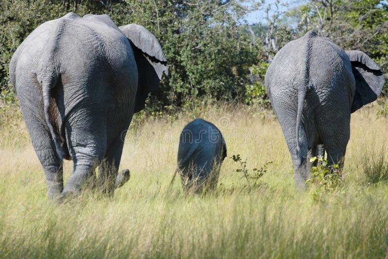 Elefanten ståtar med en behandla som ett barnelefant arkivbild