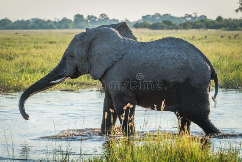 Elefanten sträcker stammen, medan vada till och med floden royaltyfria foton