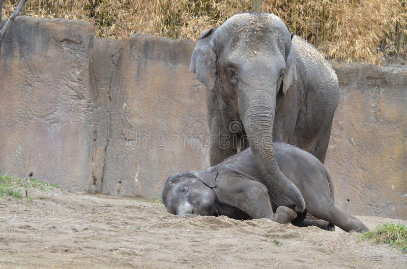 Elefanten ta sig en tupplur tid arkivbild