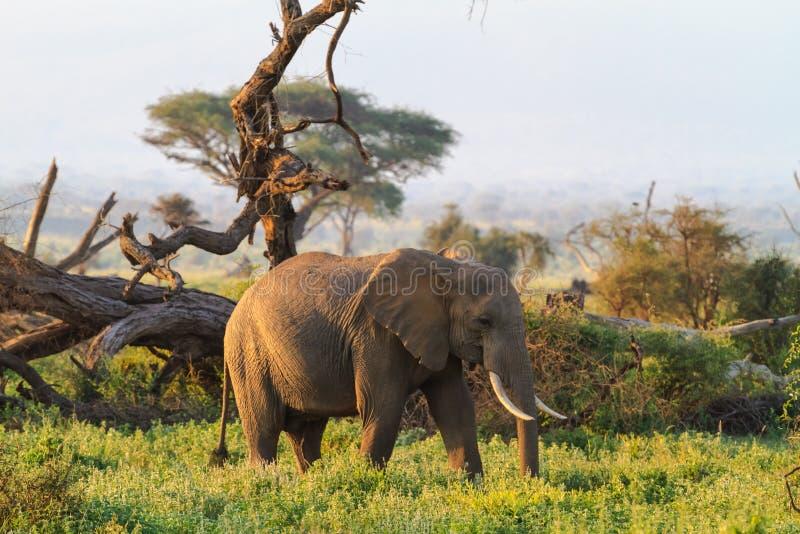 Elefanten von der Savanne von Amboseli Kenia, Kilimanjaro-Berg stockfotos