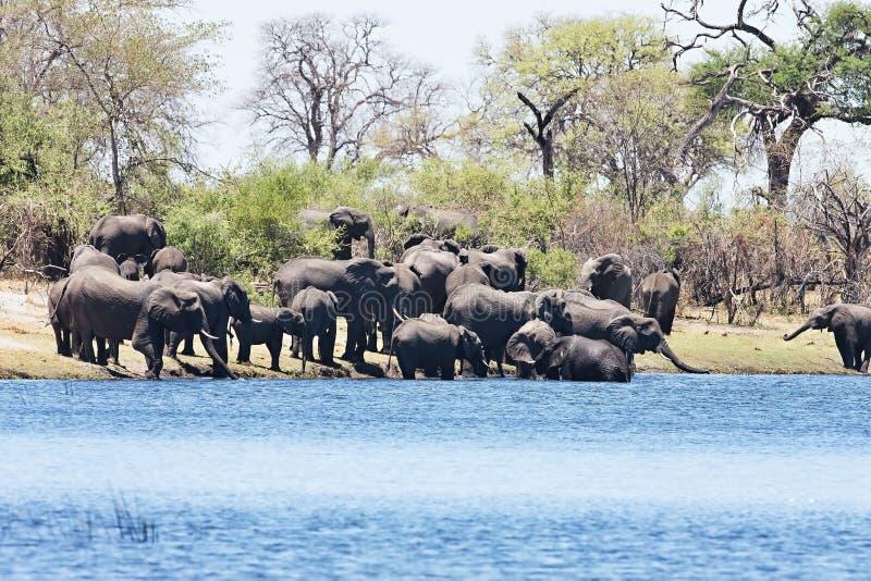 Elefanten an waterhole Hufeisen, im Nationalpark Bwabwata, Namibia stockfotografie