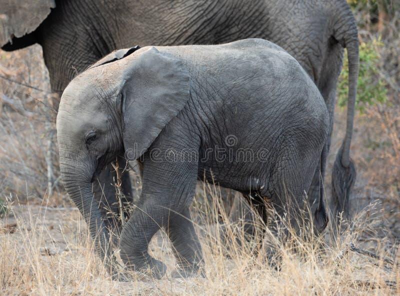 Elefantenkalb, das in südafrikanische Landschaft mit seiner Mutter geht lizenzfreies stockfoto