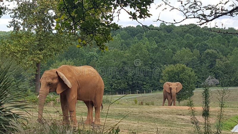 elefanter arkivbild
