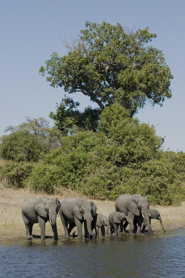 elefanter royaltyfri bild