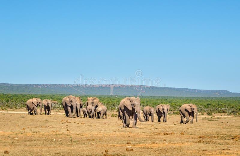 Elefanter Addo elefanter parkerar, Sydafrika arkivbilder