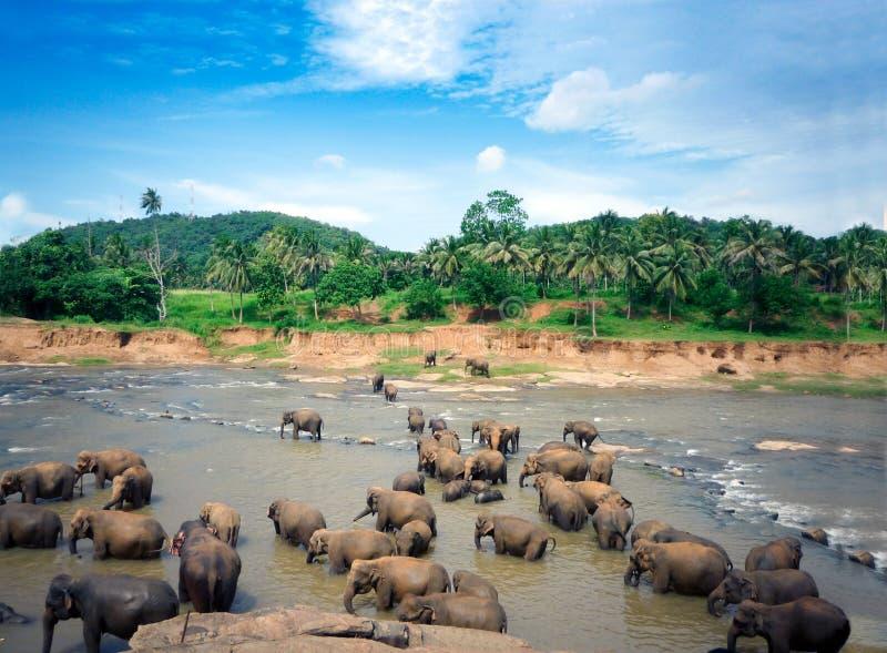 Elefanter badar i den Oya floden i Sri Lanka, Pinnawala elefantbarnhem arkivfoton