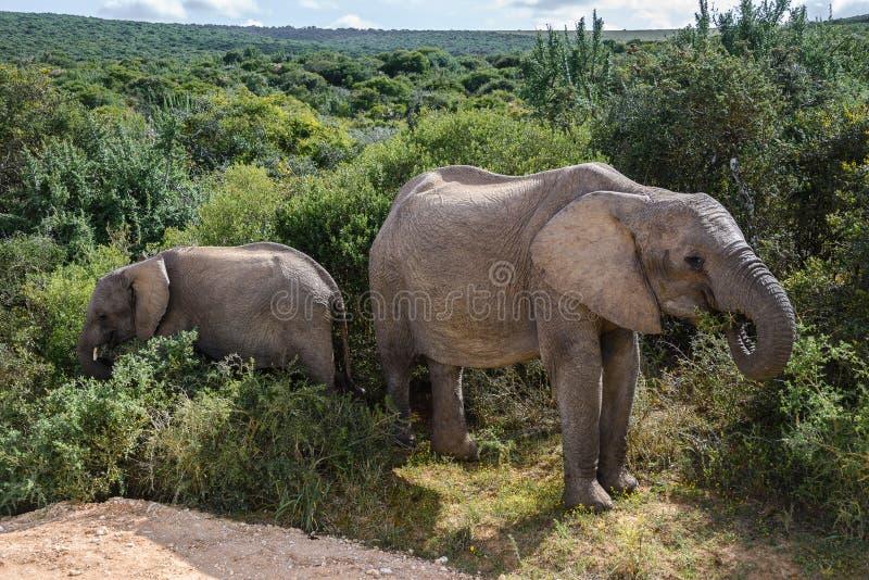 Elefanter i Addo Elephant National Park, Sydafrika royaltyfri bild