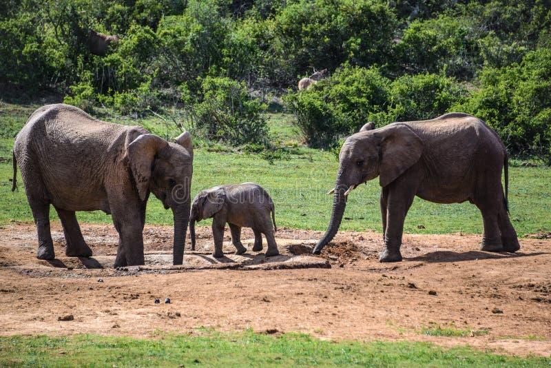 Elefanter i Addo Elephant National Park, Sydafrika arkivbild