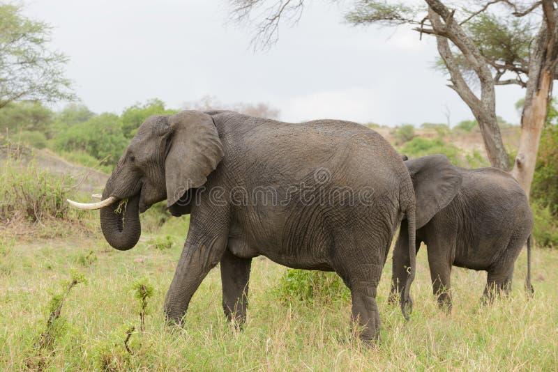 Elefanter i den Taragire nationalparken royaltyfri bild