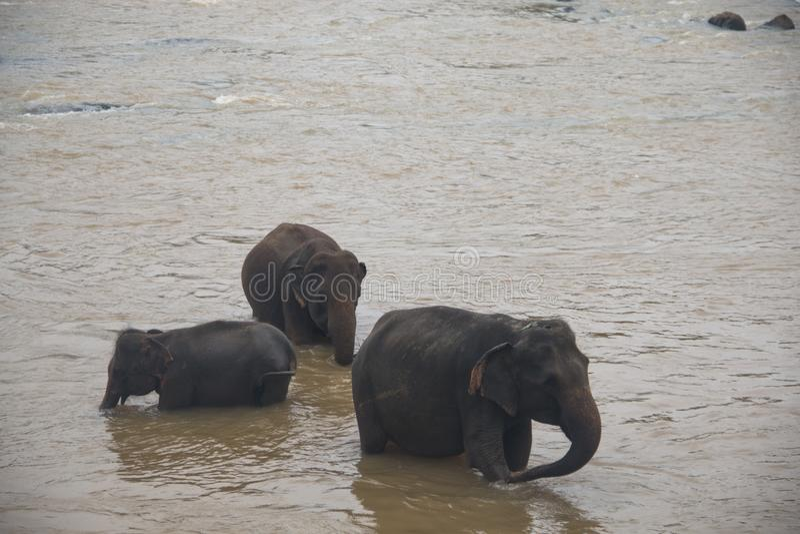 Elefanter i en orphenage i Sri Lanka arkivbild