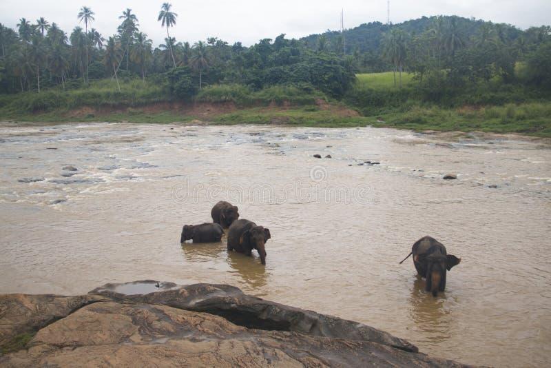 Elefanter i en orphenage i Sri Lanka royaltyfri foto